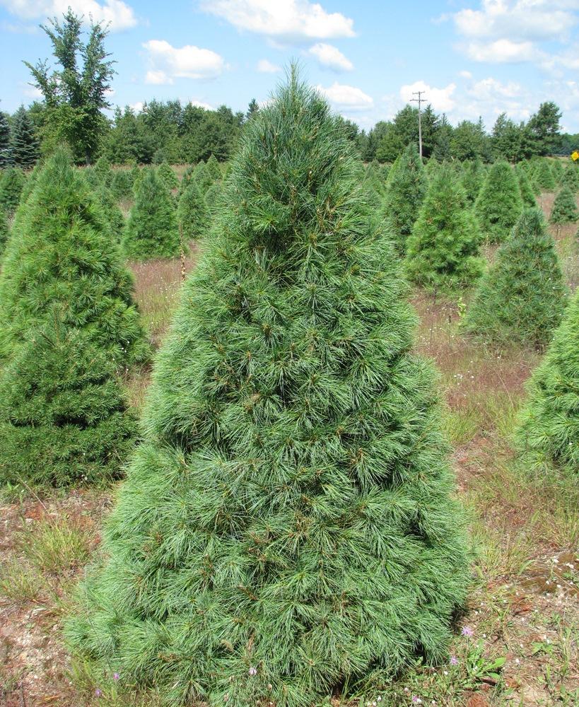 Wholesale Christmas Tree Photos | Holiday Trees Inc